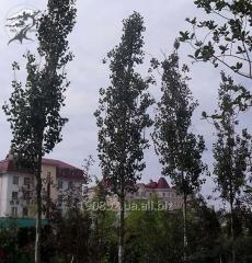 Poplar the shivering Erecta