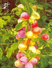 Cherry plum Comet early