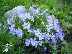 Horned viole