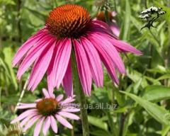 The purple cone-flower is purple