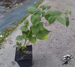 A szeder magról nevelt növények