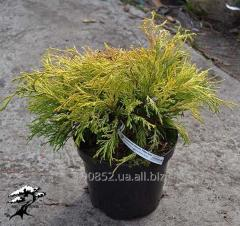 Cypress gorokhoplodny Filifera Aurea