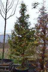 A tűlevelű fák palántái