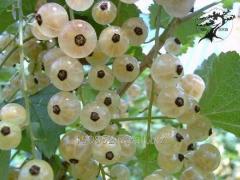 Currant white Smolyaninova