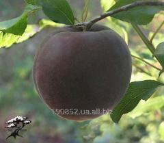 Apricot Black