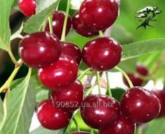 Cseresznye csemeték