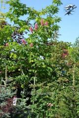Chestnut pink Briotti
