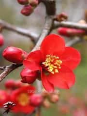 Quince Japanese Nicoline