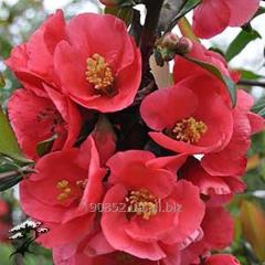 Айва японская Pink Lady
