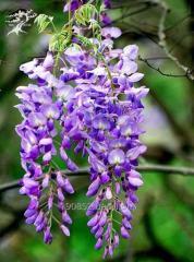 Prolific wistaria