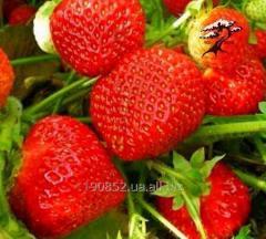 Strawberry Zephyr