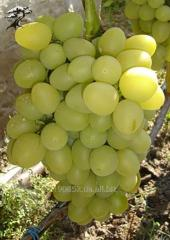 Arkady's grapes