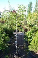 Mespilus treelike Robin Hill 7 of m