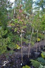 Paule Scarlet's hawthorn 1