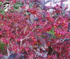 Euonymus European Red Cascade