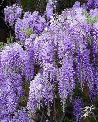 The wistaria is obilnotsvetushchy