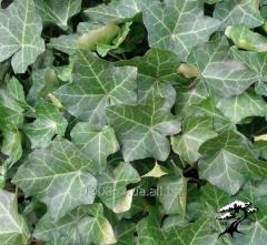 Ivy ordinary Thorndale