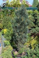 Fastigiata pine
