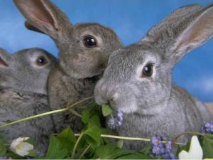 Rabbits wholesale, live weight.