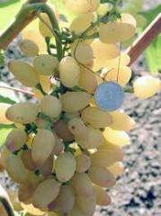 Саженцы винограда Киш-миш Находка бессемянная