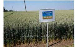 Семена пшеницы озимой Богемия