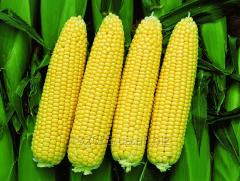 Кукурудза / кукуруза в початках цукрова, француз.