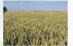 Семена пшеницы озимой Каланча