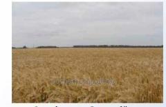 Seeds of barley winter Highest Wave