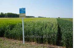 Семена яровой пшеницы Ранняя 93