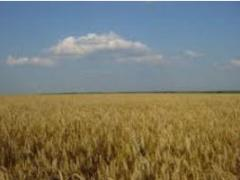 Зерно фуражное