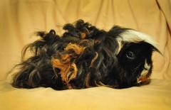 Thoroughbred guinea pigs at the loyal prices