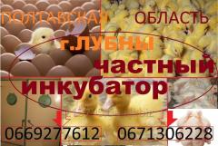 Chickens of a broiler of KOBB 500, etc. species of