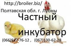 Chickens of a broiler of KOBB 500
