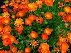Цветы календулы -ноготки лекарственные