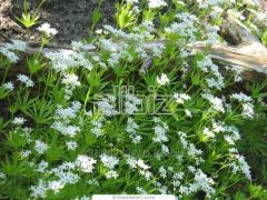 Medicinal herbs: Altey, Ekhinatsey, Nagidki,
