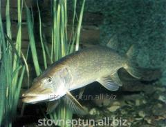 Мальки рыб: щуки, сома, судака, карпа, толстолоба, белого амура