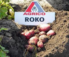 Картофель Роко семенной среднеранний столовый