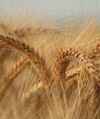 Насіння озимої пшениці Шестопаловка (еліта)