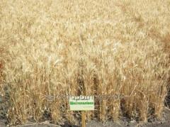 Семена озимой пшеницы Шестопаловка 1 репродукция