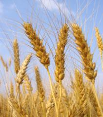 Семена озимой пшеницы Одесская 267