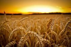 Seeds of winter wheat Dark \Nas_nnya ozimo ї