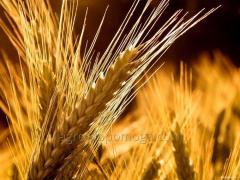 Озимая пшеница Отрада