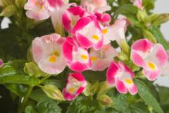 Toreniya of little kiss rose picotee f1, sakata of