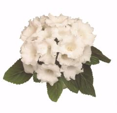 Gloxinia of avanti white f1, sakata of 1 000 seeds