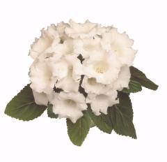 Gloxinia of avanti white f1, sakata of 1 000