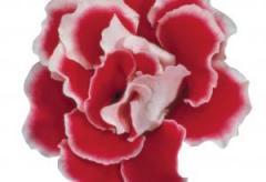 Gloxinia of brocade red & white f1, sakata