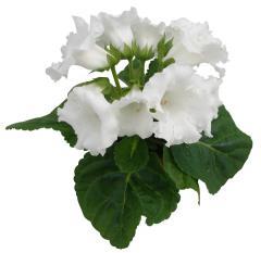 Gloxinia of multibells white f1, sakata of 1 000