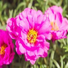Семена на цветя