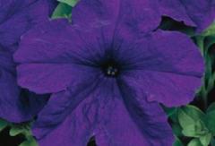 Petunia krupnotsvetkovy eagle blue f1, sakata of 1