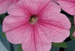 Petunia krupnotsvetkovy eagle pastel pink f1,